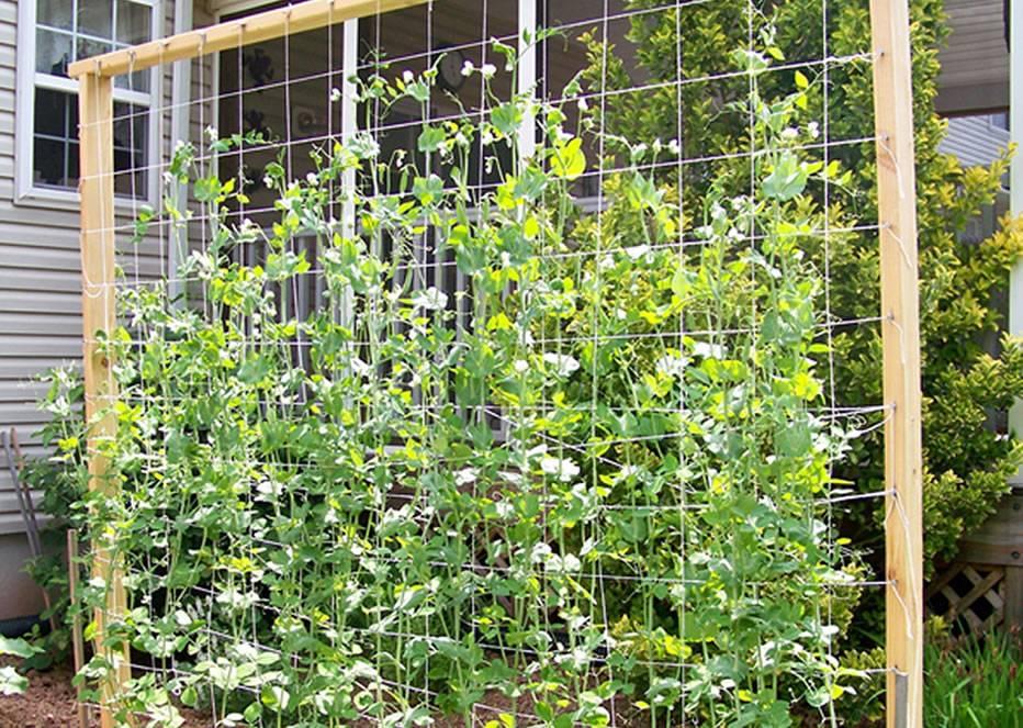 Plants Grow Along Vertical Trellis.